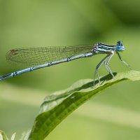 Тонкохвост изящный (Ischnura elegans)... :: Vadim77755 Коркин