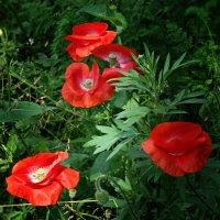 Красные маки радость несут...Мне улыбаются нежно .... :: Galina Dzubina