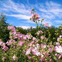 Июньские пейзажи - цветёт просвирник :: Андрей Заломленков