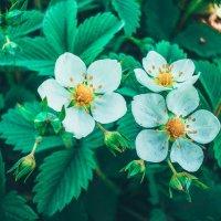 цветуцая ягода :: Екатерина Смирнова