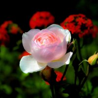 Розовое очарование :: Ирина Falcone
