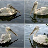 Пеликаны :: Нина Бутко