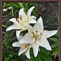 Белые лилии :: Владимир Бровко