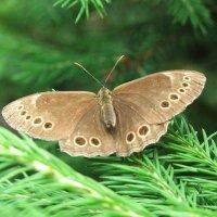 Бабочка крупноглазка (Lasiommata achine SCOP) :: Генрих Сидоренко