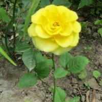 Жёлтая роза моя :: Дмитрий Никитин