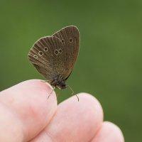 Ручная бабочка :: Виктор