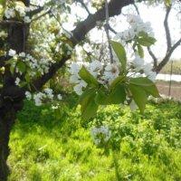 Весна. Черешня цветет. :: Ирина Диденко