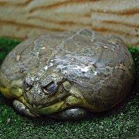 лягушка-водонос :: Александр Корчемный