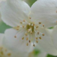 Цветущий жасмин крупным планом :: Наталья Крылова