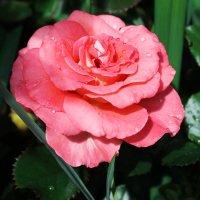 Вздыхая розы аромат, тенистый вспоминаю сад.... :: раиса Орловская