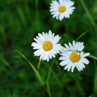 Ромашковое лето :: Ксения
