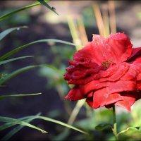 Роза . :: Александр Л......