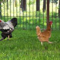 Куриные танцы:) :: Виктор М