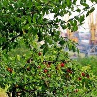 райские яблочки :: Александр Корчемный