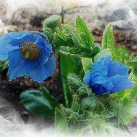 Синие цветы :: Nina Yudicheva