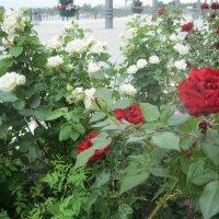 Южные розы :: Svet Lana