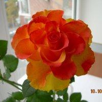 Розы, розы. розы... :: татьяна