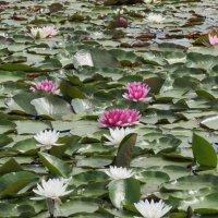 Пруд с лилиями :: Валюша Черкасова