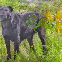 Собака-злая барабака :: РоЗа Бара