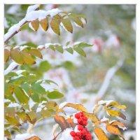 Нежданный снег. Рябина. :: Юрий Ефимов