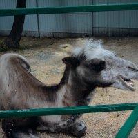 Верблюд :: Света Кондрашова