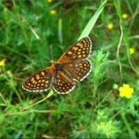 Бабочка-перламутровка :: °•●Елена●•° Аникина♀