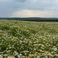Ромашковое поле :: ALEXANDR L