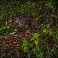 Дикий кот на охоте :: Алексей Строганов