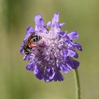 Пчелка :: Игорь Сикорский