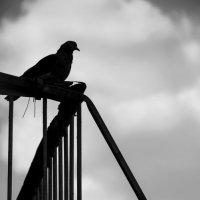 Голубь- птица гордая :: Павел Самарович