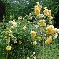 Куст розовый в медалях роз.... :: Galina Dzubina