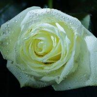 Белая роза :: Светлана