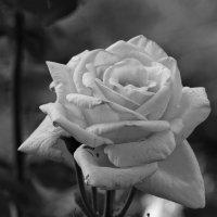 Rose. :: Cerg Smith