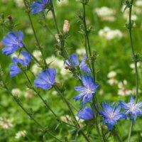 Цветы цикория :: Виталий