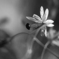 Звёздчатка и жучишка :: Ирина Сивовол