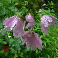 Мальва под дождём :: Вера Щукина