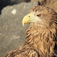 гордая птица высоких гор :: Олег Лукьянов