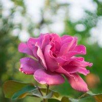 Роза :: Анастасия Мойсук