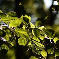 Листья на солнце. :: Олег Чернышев