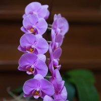 Орхидея. :: Татьяна Калинкина