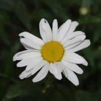 Самый простой и нежный цветок. :: Елена