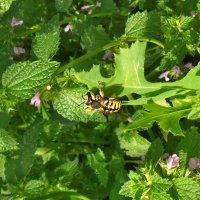 Обожают комахи яснотку! :: Наталья