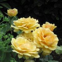 Чайные розы :: Маера Урусова
