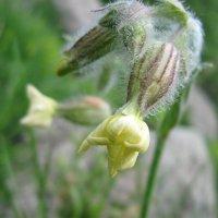 Дикие цветы Армении :: Volodya Grigoryan