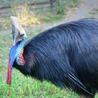 Казуар в Алмаатинском зоопарке :: Мила Мит