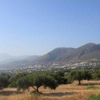 оливковые деревья :: Вера Ярославцева