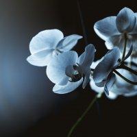 орхидея :: dron