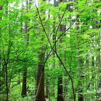 лес :: Ольга Богачёва