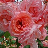 Розовое великолепие!!! А запах.....!!!! :: Galina Dzubina