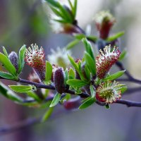 Весна. Цветение вербы. :: Tatyana Nemchinova